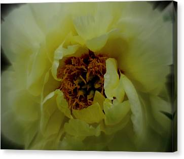 Peony Perfection Canvas Print by Martin Morehead