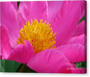 Peony Power Canvas Print by Roxy Riou