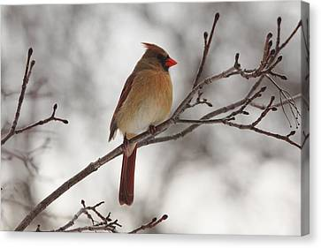 Perched Female Red Cardinal Canvas Print by Debbie Oppermann