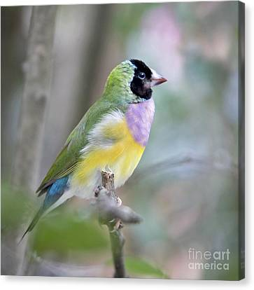Perched Gouldian Finch Canvas Print by Glennis Siverson