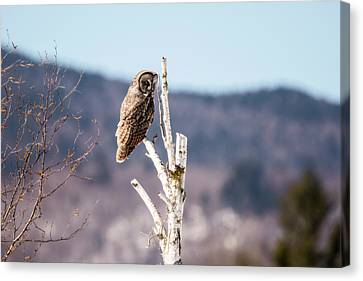 Perched Great Grey Owl 2 Canvas Print by Tracy Winter