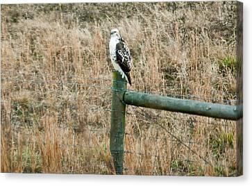 Perched Hawk Canvas Print by Douglas Barnett
