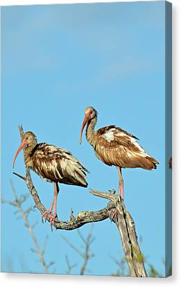 Perched White Ibises Canvas Print by Bruce Gourley