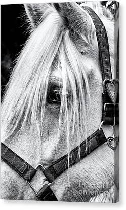 Marble Eyes Canvas Print - Percheron Horse by Tim Gainey