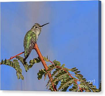 Perching Hummer Canvas Print by Robert Bales