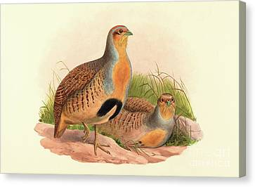 Perdix Barbata, Daurian Partridge Canvas Print by John Gould