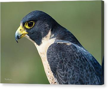 Peregrin Falcon Canvas Print