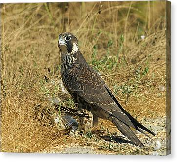 Peregrine Falcon Canvas Print by Doug Herr