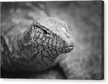 Perentie Close Up - Black And White Canvas Print