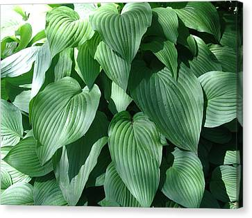 Perfect Hosta Canvas Print by Rod Ismay