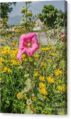 Canvas Print featuring the photograph Perfect Pink Hollyhocks by Sue Smith