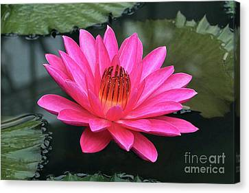 Perfect Pink Petals Of A Waterlily Canvas Print