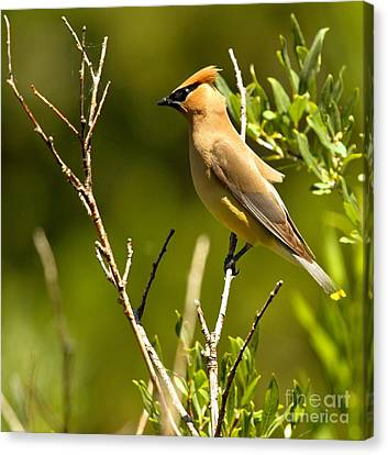 Perfectly Perched Canvas Print by Adam Jewell