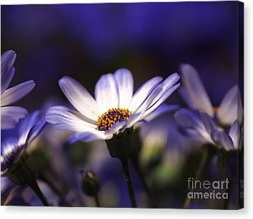 Pericallis On A Cool Spring Evening 2 Canvas Print by Dorothy Lee