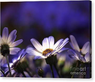 Pericallis On A Cool Spring Evening 4 Canvas Print by Dorothy Lee