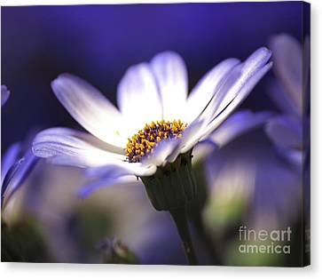 Pericallis On A Cool Spring Evening Canvas Print by Dorothy Lee