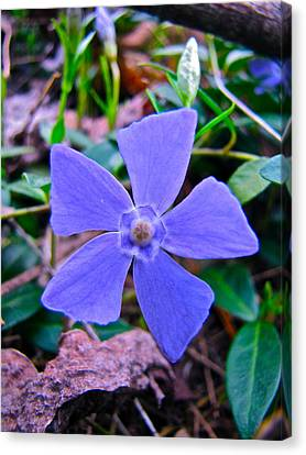 Canvas Print featuring the photograph Periwinkle Flower by Lori Miller