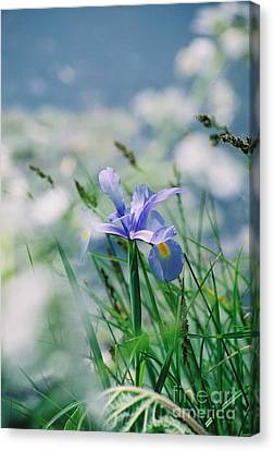 Periwinkle Iris Canvas Print by Nadine Rippelmeyer