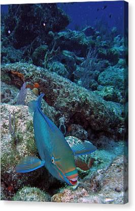 Perky Parrotfish Canvas Print by Kimberly Mohlenhoff