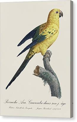 Perruche Ara Guarouba Jeune Age / Sun Parakeet Or Conure - Restored 19thc. Illustration By Barraband Canvas Print by Jose Elias - Sofia Pereira