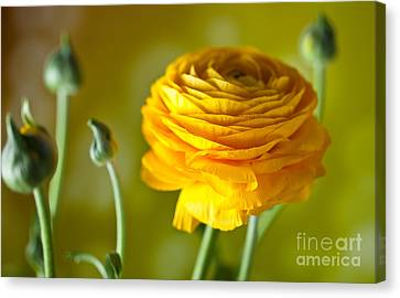 Persian Buttercup Flower Canvas Print by Nailia Schwarz