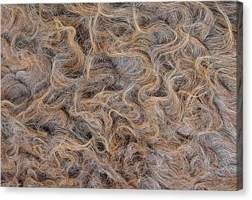 Canvas Print featuring the photograph Peruvian Burro Curls by Britt Runyon