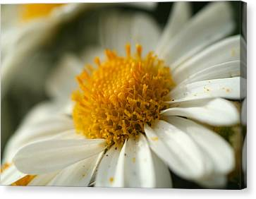 Petals And Pollen Canvas Print