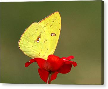 Canvas Print featuring the photograph Petals And Wings by Sheila Brown