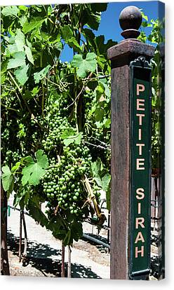 Petite Sirah Grapes Canvas Print by Classic Visions