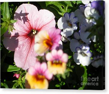 Petunia And Nemesia At Sunset Canvas Print by Sonya Chalmers