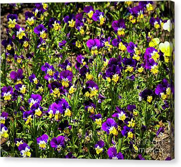 Pansies Canvas Print by Jon Burch Photography