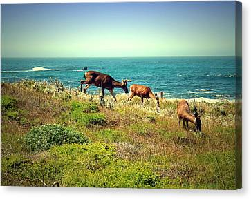 Pg Ocean Side Deer Three Canvas Print