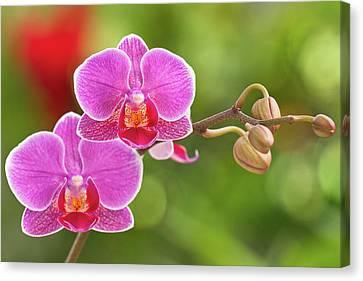 Phalaenopsis Canvas Print by MaViLa