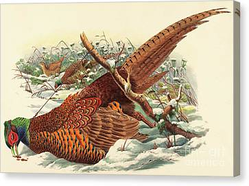 Hunting Bird Canvas Print - Phasianus Colchicus, Ring Necked Pheasant by John Gould