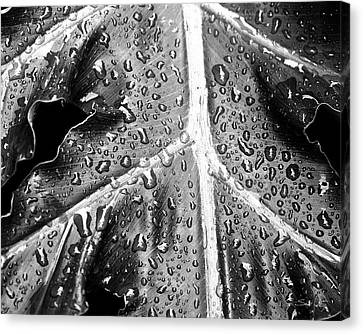 Philodendron Canvas Print - Philodendron Rain - Bw by Scott Pellegrin