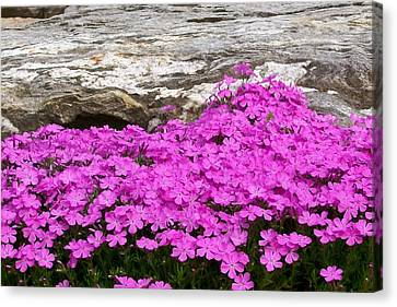 Canvas Print featuring the digital art Phlox by Barbara S Nickerson