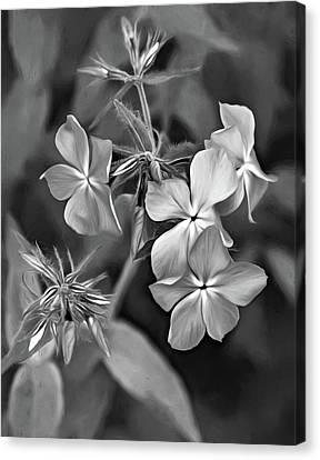Phlox Divaricata Bw Canvas Print by Steve Harrington