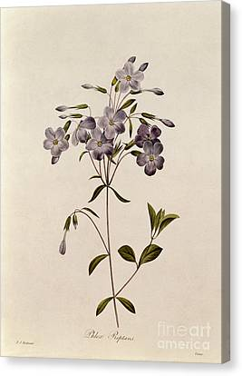 Leaves Canvas Print - Phlox Reptans by Pierre Joseph Redoute