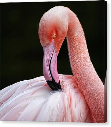 Phoenicopterus Canvas Print by QuimGranell