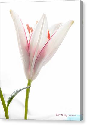 Canvas Print featuring the photograph Photograph Of A Pale Lily Opening I by David Perry Lawrence