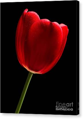 Canvas Print featuring the photograph Photograph Of A Red Tulip On Black I by David Perry Lawrence