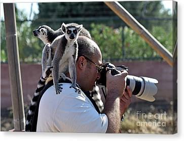Ape Canvas Print - Photographer With Lemurs On Him by George Atsametakis