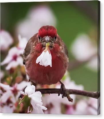 Picked Just For You House Finch Square Canvas Print by Terry DeLuco