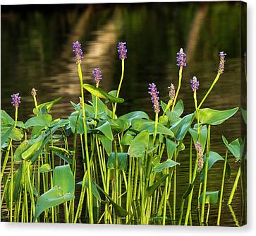 Canvas Print - Pickerel Weed - Pontederia Cordata by Steven Ralser
