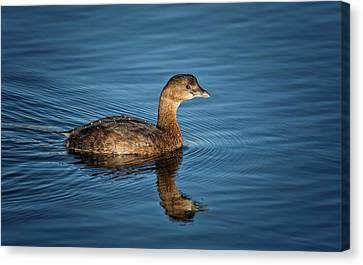 Canvas Print featuring the photograph Pied Billed Grebe by Randy Hall