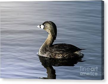Canvas Print featuring the photograph Pied-billed Grebe by Robert Frederick