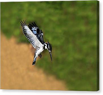Pied Kingfisher Canvas Print by Tony Beck
