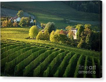 Piemonte Vineyard Canvas Print by Brian Jannsen