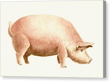 Farm Animal Canvas Print - Pig by Michael Vigliotti