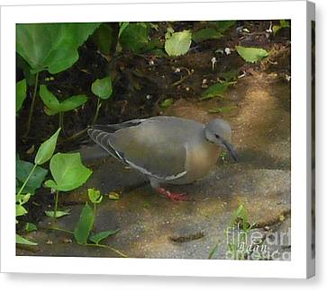 Canvas Print featuring the photograph Pigeon by Felipe Adan Lerma